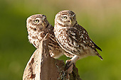 Les Gibbon - Little Owl Photography Hide