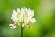 Photo clover flower macro, matted print, wall art, close up. California nature, garden, photography. Santa Monica, Westside, Venice, Los Angeles, Fine art photography limited edition.