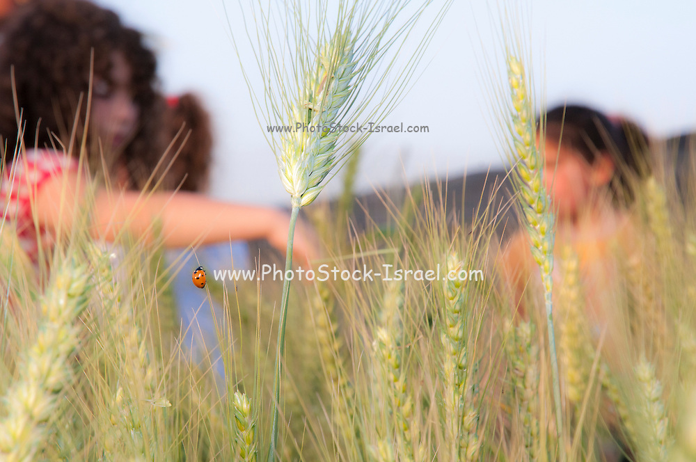 Children in a wheat field celebrating spring harvest. Photographed at Kibbutz Ashdot Yaacov, Israel