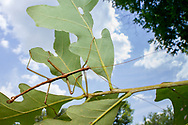 Carolina Walkingstick (Diapheromera carolina) - male<br /> United States: Alabama: Tuscaloosa Co.<br /> Tulip Tree Springs off Echola Rd.; Elrod<br /> 18-Jun-2016<br /> J.C. Abbott #2834 &amp; K.K. Abbott