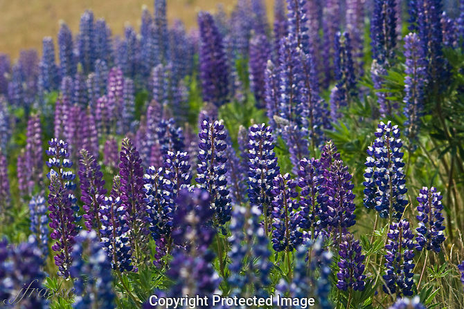 Colorado Lupine