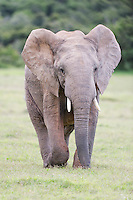Young African Elephant bull , Addo Elephant National Park, Eastern Cape, South Africa