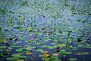 Water lillies floating in tanic water, Okefenokee National Wildlife Refuge, Georgia.