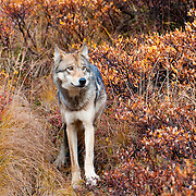 Wolves in Denali National Park, Fall, Alaska