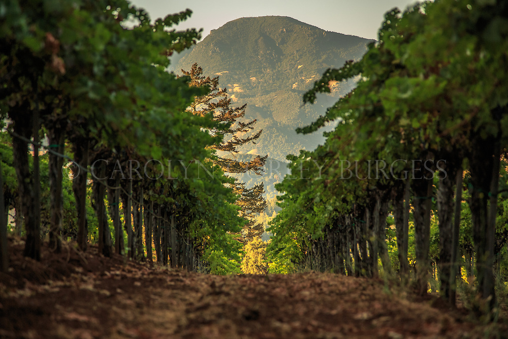 Napa Valley, Diamond Mountain, Theorem Vineyard, Mount Saint Helena, vineyard photography