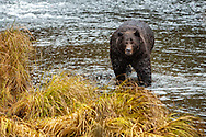 Grizzly bear searching for salmon