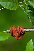 Amazon Tree Boa (Corallus hortulanus) MANIPULATED<br /> Rain Forest<br /> Iwokrama Reserve<br /> GUYANA<br /> South America<br /> RANGE: Colombia, Venezuela, Guyanas, Brazil, Ecuador, Peru & Bolivia