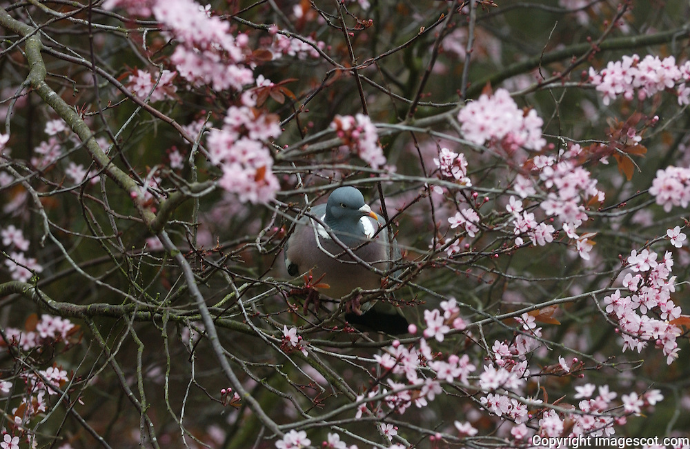 Wood pigeon, spring blossom