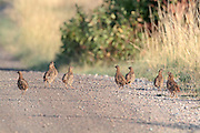 Hungarian partridge walk on a gravel road.
