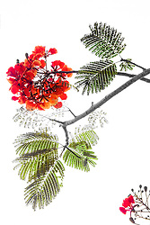 Royal Poinciana Tree Delonix Regia #33
