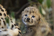 Cheetah<br /> Acinonyx jubatus<br /> 12 day old cub in nest<br /> Maasai Mara Reserve, Kenya