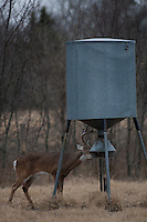 Mature whitetail buck eating from a protein feeder