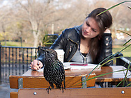 A Starling and a girl in Central Park, New York City.