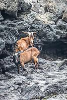 Goat - Santa Cruz Island, Galapagos