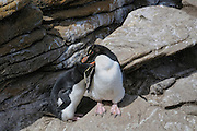 Rockhopper penguins courtship preening.