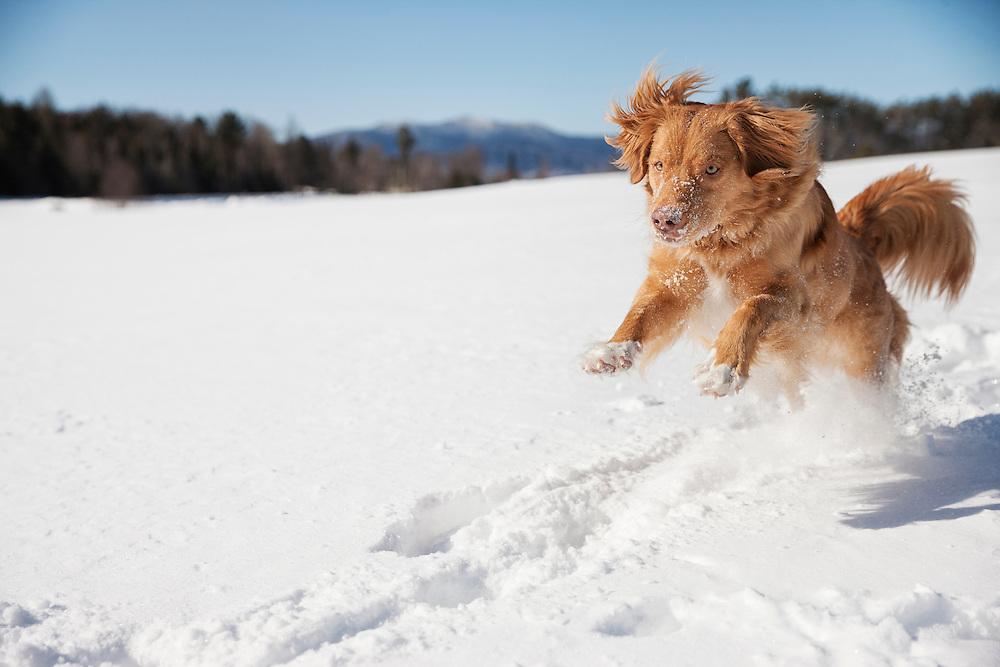 Nova Scotia Duck-Tolling Retriever running in the snow