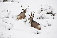 January in Utah 2017 some of the largest snow storms in years and the Mule Deer are struggling to find food.