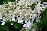 Close-up of Hydrangea paniculata 'Brussels Lace.'
