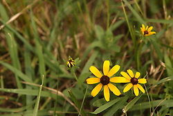 July 2007: Wild Flower - Black-eyed Susan.  Attractions near Chattanooga Tennessee. Point Park, National Park Service - Lookout Mountain, TN.
