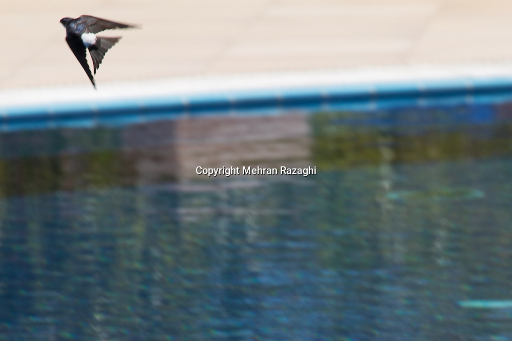 While being in Kanali, Greece, I noticed how swallows were drinking from the swimming pool while flying very fast. I decided to photograph them, what seemed easier to be said than done.