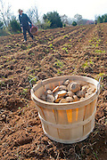 A 1/2 bushel basket of quartered potatoes sits in a field as a farmer plants in the background.