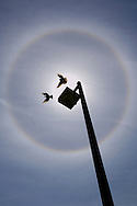 Two birds flying in a Solar Halo circle of refracted light in ice crystals around sun and blue sky and clouds.