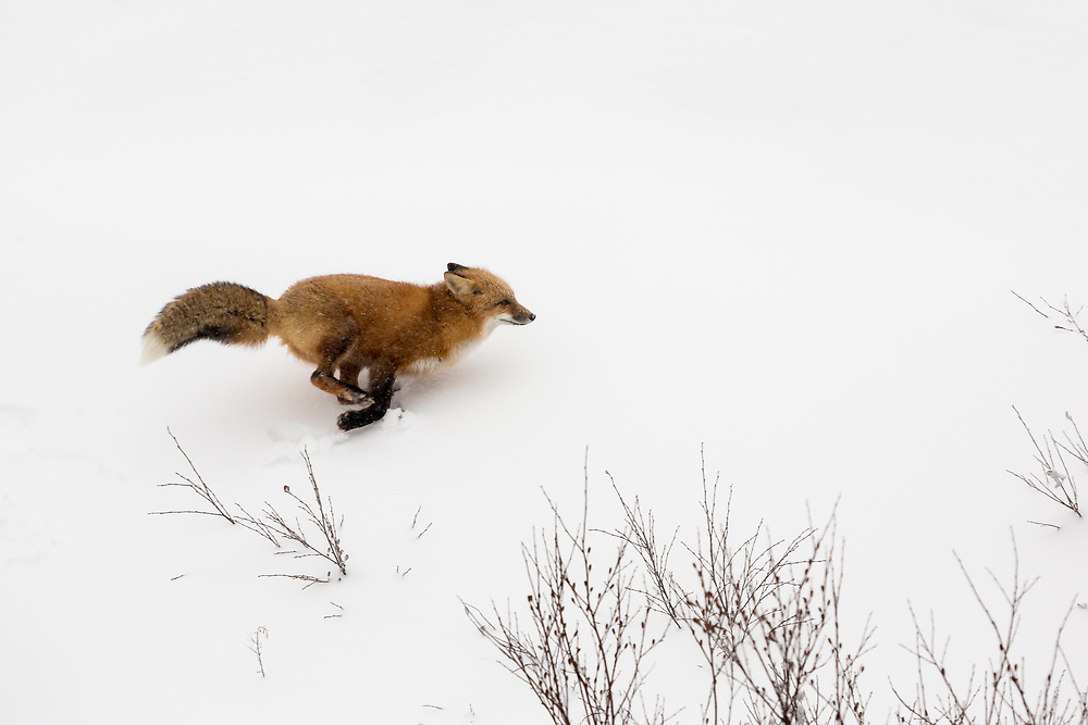The Red Fox is the largest fox (up to 30lbs) and inhabits the entire Northern Hemisphere. The fox in this photo was searching for dinner but did not have any luck.   The fox occasionally puts on a burst of speed to catch sight of potential prey.