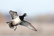 Ring-necked Duck, Aythya collaris, male, Harsen's Island, Michigan