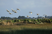 Royal Spoonbills in flight at Invercargill Estuary