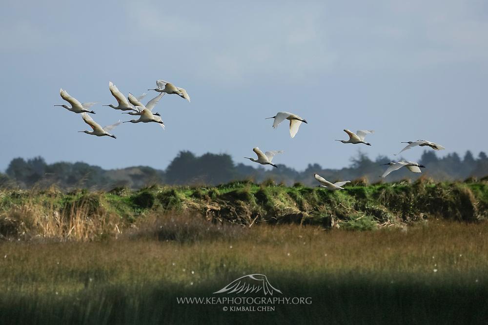 Royal Spoonbills in flight at Invercargill Estuary