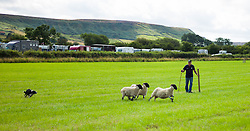 © Licensed to London News Pictures.12/08/15<br /> Danby, UK. <br /> <br /> A man controls his dog as he takes part in a sheep dog trial during the 155th Danby Agricultural Show in the Esk Valley in North Yorkshire. <br /> <br /> The popular agricultural show attracts competitors and visitors from all over the surrounding area to this annual showcase of country life. <br /> <br /> Photo credit : Ian Forsyth/LNP