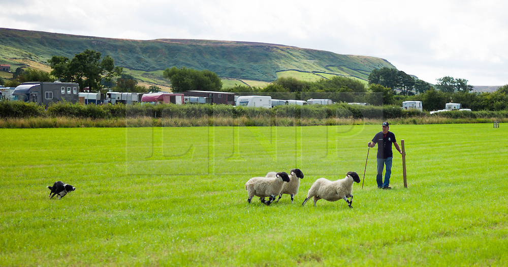 &copy; Licensed to London News Pictures.12/08/15<br /> Danby, UK. <br /> <br /> A man controls his dog as he takes part in a sheep dog trial during the 155th Danby Agricultural Show in the Esk Valley in North Yorkshire. <br /> <br /> The popular agricultural show attracts competitors and visitors from all over the surrounding area to this annual showcase of country life. <br /> <br /> Photo credit : Ian Forsyth/LNP
