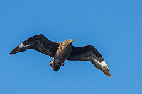 Sub-Antarctic Skua in flight, Cape Canyon Trawl Grounds, South Africa