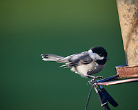 Black-capped Chickadee. Image taken with a Nikon D5 camera and 600 mm f/4 VR lens (ISO 1100, 600 mm, f/5.6, 1/1250 sec)