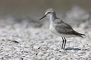 Wrybill, (Anarhynchus frontalis), New Zealand