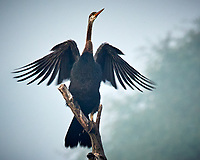 Oriental Darter. Bharatpur-- Keoladeo Ghana National Park, Rajasthan, India. Image taken with a Nikon 1 V3 camera and 70-300 mm VR lens.