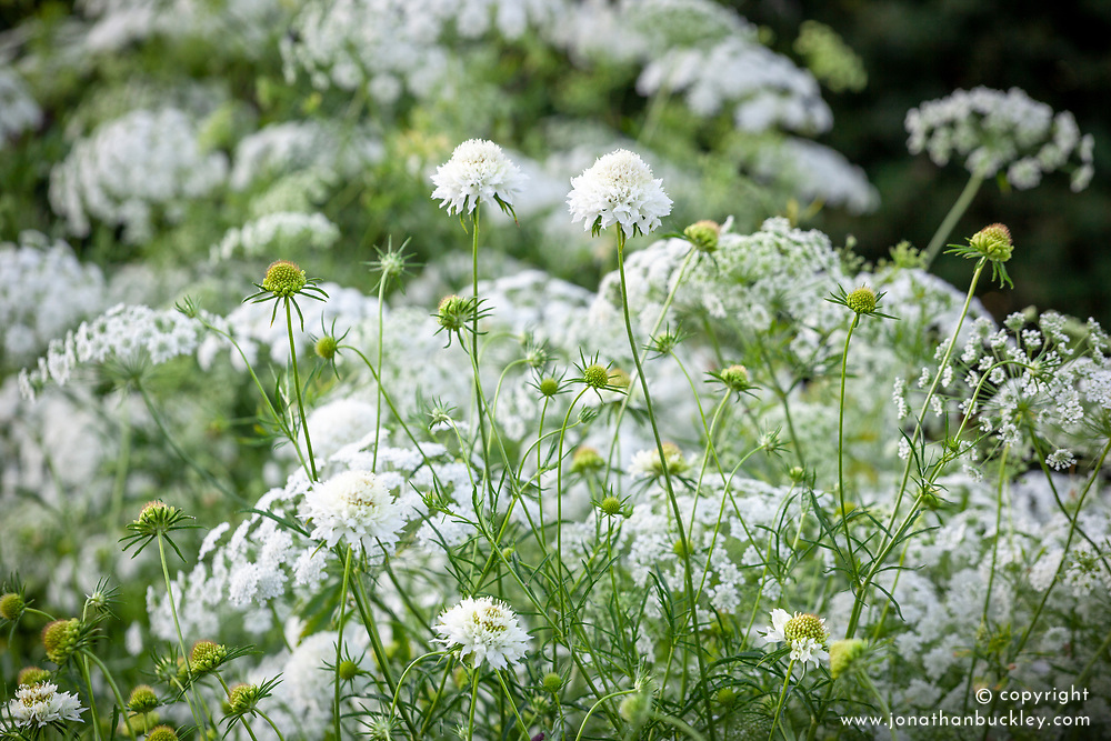 White scabious with Ammi majus. Bishop's flower