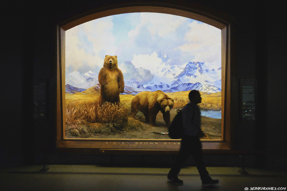 The Alaskan Brown Bear exhibit at the American Museum of Natural History in New York City, NY.