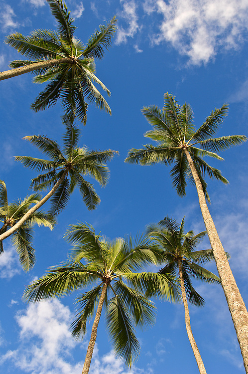 Coconut palm trees with blue sky and white clouds; Kahana Valley State Park, windward Oahu, Hawaii.