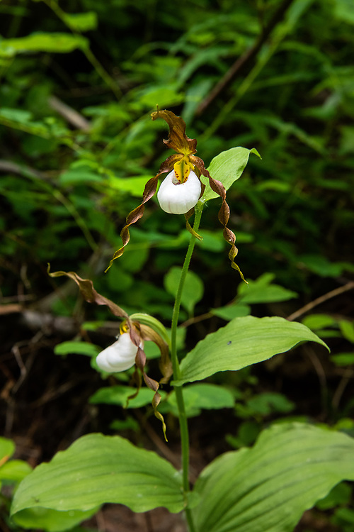 An exquisitely beautiful pair of the rare and beautiful mountain lady's-slipper (Cypripedium montanum) in its natural environment! This native orchid  was part of a  small colony of individuals in the Alpine Lakes Wilderness of on the eastern side of the Cascade Mountains in Washington State.