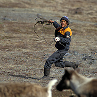Russia, Koryuk herder twirls rope to lasso reindeer during annual antler harvest in Russian Far East on Taigonosk Peninsula