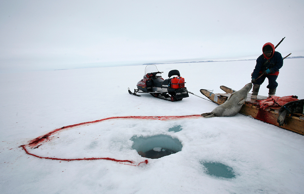 Sasa Samson, 37, pulls a seal from its breathing hole in Resolute Bay, Canada using a gaff, or a hooked stick, on Tuesday June 12, 2007.  Sasa often stands next to the breathing hole of the seal without moving for 30 minutes or more to capture the animal with his hooked stick when it rises to the surface to breathe.  Sasa hunts seals for food, and his community uses every part of the seals, either eating the meat or using the hides to make warm clothes.   The traditional way of life in the Resolute Bay Inuit community is being threatened by rising temperatures.  The dangers of global warming, which have been extensively documented by scientists, are appearing first, with rapid, drastic effects, in the Arctic regions where Inuit people make their home.  Inuit communities, such as those living on Resolute Bay, have witnessed a wide variety of changes in their environment.  The ice is melting sooner, depleting the seal population and leaving them unable to hunt the animals for as long.  Other changes include seeing species of birds and insects (such as cockroaches and mosquitoes) which they have never encountered before.  The Inuit actually lack words in their local languages to describe the creatures they have begun to see...