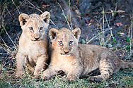 Lion cubs, Mombo camp, Okavango Delta, Botswana / Cachorros de león, campo Mombo, Delta del Okavango, Botswana