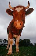 DEU, Deutschland: Hausrind (Bos taurus), Kuh steht auf der Weide, Rasse: Rotbunte, Norddeutschland | DEU, Germany: Domestic cattle (Bos taurus), cattle standing on feedlot, race: Red Holstein, Northern Germany |