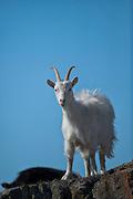 Icelandic goat.