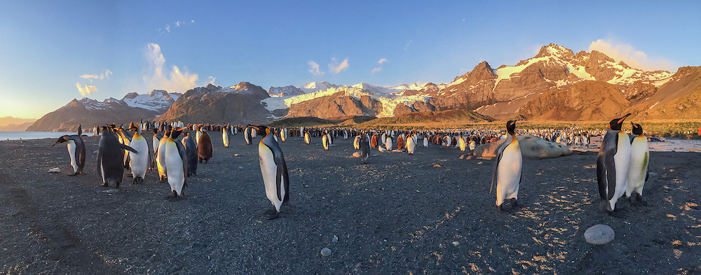King penguin, Aptenodytes patagonicus rookery and the Heaney Glacier in the Allardyce Range at Saint Andrews Bay on South Georgia.