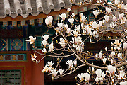 Magnolia tree at The Summer Palace, Beijing, China