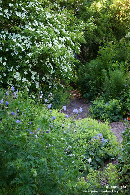 Alchemilla mollis, Geranium pratense and Cornus 'Norman Hadden' at Glebe Cottage