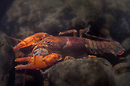 Mitten Crayfish<br />