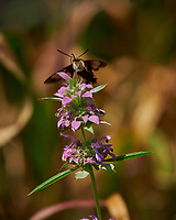Hummingbird Clearwing Moth Feeding on Bee Balm Flowers. Image taken with a Nikon D850 camera and 200-500 mm f/5.6 VR lens